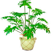Creative Displays Split Philodendron Plant In Light Green Ceramic Pot With Rope Embellishment