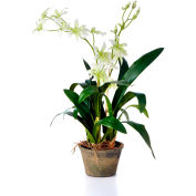 "Sage & Co.® Odontoglossum Orchid Plant, 7-1/2""W x 7-1/2""D x 7-1/2""H"