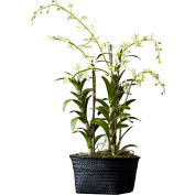 """Sage & Co.® Dendrobium Orchid in Basket, 9-1/2""""W x 9-1/2""""D x 40""""H"""