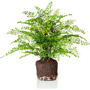 "Sage & Co.® 21"" Maidenhair Fern Drop-In, 23""W x 23""D x 21""H"