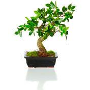 """Sage & Co.® 12"""" Bonsai, 12""""W x 8-1/2""""D x 12""""H"""
