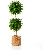 """Sage & Co.® 30"""" Myrtle Topiary, 7""""W x 7""""D x 24""""H - Pkg Qty 2"""