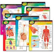 "Trend® The Human Body Learning Charts, 17"" x 22"", 7 Charts/Pack"