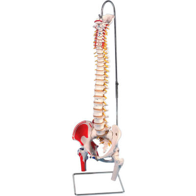 3B® Anatomical Model - Flexible Spine, Classic, Femur Heads, Painted