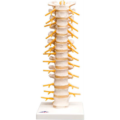 3B® Anatomical Model - Thoracic Spinal Column