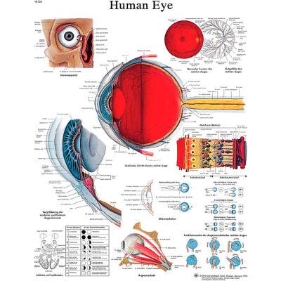 3B® Anatomical Chart - Eye, Laminated