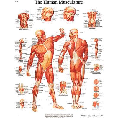 3B® Anatomical Chart - Musculature, Laminated