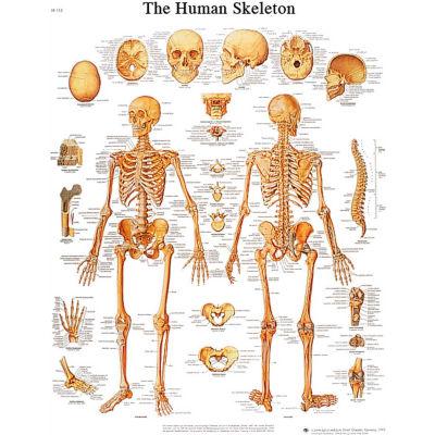3B® Anatomical Chart - Skeleton, Sticky Back