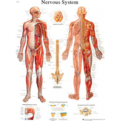 3B® Anatomical Chart - Nervous System Chart, Sticky Back