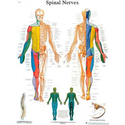 3B® Anatomical Chart - Spinal Nerves, Laminated